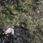 Journeying to Iona, Part 2: Surprised by the Dance of the Puffins
